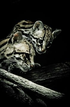 Ocelots are native to South America, Central America and Mexico. But according to reports, they have been spotted as far north as Texas and southern Arizona, and as far east as Trinidad and Barbados in the Caribbean.