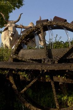 Oxen- powered water pump