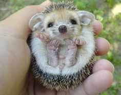baby porcupine *** This is a baby hedgehog (with very large ears)! A baby porcupine Soo cute Cute Baby Animals, Animals And Pets, Funny Animals, Baby Porcupine, Cute Animal Pictures, Animal Pics, Baby Pictures, Cute Creatures, Magical Creatures