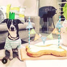 Pascual pasó feliz celebrando su segundo cumpleaños con su familia humana y se vio divino con su coronita de Chacha y El Galgo!  Esperamos que celebres muchos, muchos más!   #PerroFeliz #chachayelgalgo #pasteleriacanina #paletasparaperros #amorperruno #mascotas #peluditos #alimentacioncanina #petfriendlycali #tortasparaperros #cumpleañosperruno #cumpleañosparaperros #YoCreoEnCali #cali #calico #colombia #RazaUnica