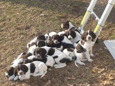 french spaniel puppies