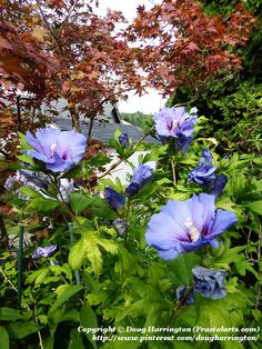 Hardy Blue Satin Hibiscus in my landscape. This bush is about 7 feet tall.