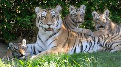 Katharina, an Amur tiger, and her three cubs reclining in the shade at the Bronx Zoo in New York.