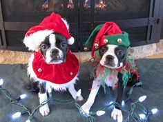 Happy Christmas from these Boston Terrier Dogs! Click to See ALL Photos! ► http://www.bterrier.com/?p=27541