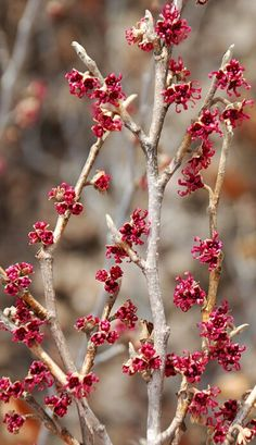 *Hamamelis vernalis 'Rose Lyric' - 4ft, small red-purple blooms early; fall foliage yellow-gold.