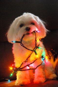 """""""Preparando la navidad"""" #perro #perros #mascotas #feliznavidad"""