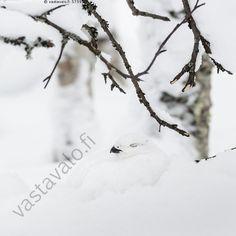 Riekon uni - talvi lumi lintu koivikko riekko Lagopus lagopus lumessa oksat… Uni, Natural Beauty, Nature, Outdoor, Outdoors, Naturaleza, Outdoor Games, Nature Illustration, The Great Outdoors