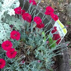 Red dianthus from last year