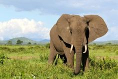 World Animal Protection partner Intrepid Travel announces end to elephant rides World Animal Protection, Sea Cow, Elephant Ride, Pet Day, Animal Faces, African Elephant, Funny Animal Videos, Animals Of The World, Tanzania