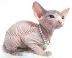 Beautiful Sphynx Kittens. Love them I want one of these cats