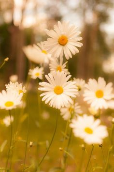 Spring Daisy Flower Wallpaper Daisy garden forest aesthetic wallpaper for iphone. Frühling Wallpaper, Spring Wallpaper, Cute Wallpaper Backgrounds, Flower Wallpaper, Daisy Field, Beautiful Flowers Wallpapers, Summer Plants, Nature Adventure, Adventure Time
