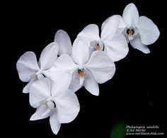 phalaenopsis amabilis grandiflora | Phalaenopsis amabilis var. grandiflora - Orchid Forum by The Orchid ...