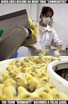 These unwanted male chicks are on a conveyor belt. In seconds they will be ground to death, many partially mutilated and facing a slow agonizing death. Their sisters are getting their beaks cut off by unskilled workers and face the same wretched life as their mothers, in filthy confinement, laying eggs for you.Yellow slime that looks like pus. Enjoy your eggs . . . the hens paid a terrible price.