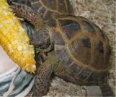 Russian tortoise grubbin' on some corn on the cob