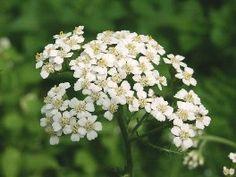 Die Schafgarbe ist eine beliebte klassische Heilpflanze, die für die Verdauungsorgane und Frauenleiden eingesetzt werden kann.  Äußerlich kann sie ähnlich wie die Kamille verwendet werden.  Sie wächst auf Wiesen und an Wegrändern und ist mir schon aus der frühen Kindheit bekannt, weil ihre Stengel so zäh sind, und sie deshalb schlecht für kindliche Blumensträuße geeignet ist. Achillea Millefolium, Naturopathy, Country Life, Vegetable Garden, Flower Power, Healthy Life, Herbalism, Flowers, Wild Flowers
