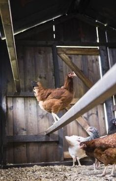 Where And How Do You Put Perches in Chicken Coops? By Cody Sorensen, eHow Contributor Perches allow chickens a healthier sleeping environmen...