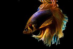 """Many people mispronounce the word """"betta"""". It should be BEH-tuh, not BAY-tuh. Just remember that betta is better! Either way they are GORGEOUS FISH! Betta Fish Tank, Beta Fish, Colorful Fish, Tropical Fish, Freshwater Aquarium, Aquarium Fish, Poisson Combatant, Beautiful Creatures, Animals Beautiful"""