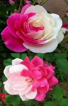 Very likely artificially coloured rose. Beautiful Rose Flowers, Rare Flowers, Flowers Nature, Amazing Flowers, Pink Roses, Pink Flowers, Growing Roses, Flower Pictures, My Flower