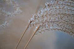 snow grass by Tim Hauser -  Click on the image to enlarge.