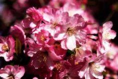 Cuadro Cherry Blossoms II