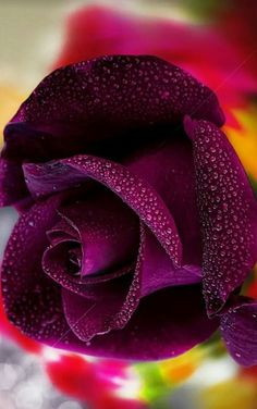 Purple Colour Rose