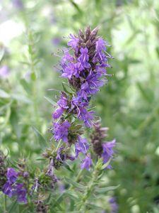 Hyssopus officinalis - Blauer Ysop. Traditionell bei Husten und Erkältungskrankheiten, schleimlösend, antibakteriell. Lage sonnig, Boden eher mager.
