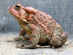 Bufo americanus - American Toad -- Sighted: New York, etc.