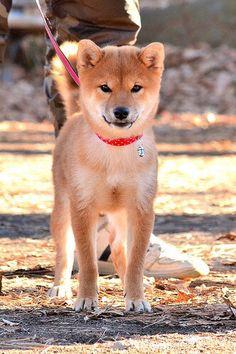 Shiba Inu - dream dog