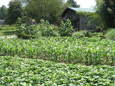 Growing Sweet Potatoes - MOTHER EARTH NEWS #gardenshrubsbackyards