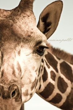 8x12 Photography  Giraffe by carinamicc on Etsy, $28.00