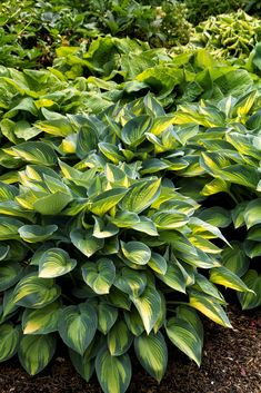 My Garden June Plantain Lily Hosta Perennial Side Flower Bed Under Trees In Shaded Area