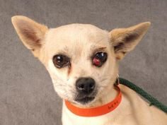 Adopt Shiloh, a lovely 5 years  5 months Dog available for adoption at Petango.com.  Shiloh is a Chihuahua, Short Coat and is available at the National Mill Dog Rescue in Colorado Springs, Co.  www.milldogrescue.org #adoptdontshop  #puppymilldog   #rescue  #adoptyourfriendtoday