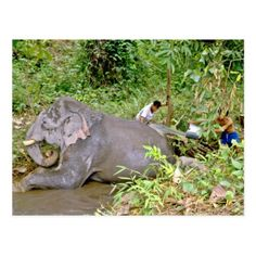 Shop Elephant washing in river, Northern Thailand Postcard created by ZooGiftShop. Elephant Artwork, Elephant Poster, Elephant Ride, Elephant Pictures, Elephant Gifts, Baby Elephant, Elephants Never Forget, Save The Elephants, Elephant Species