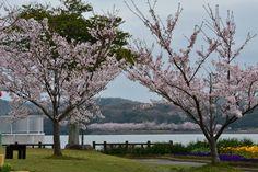 21:「桜祭りの日に。」@常盤公園