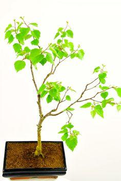 Image result for birch bonsai