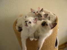 Djuna's kittens Joy, Freyja, Balou and Roy. Each has a different color.