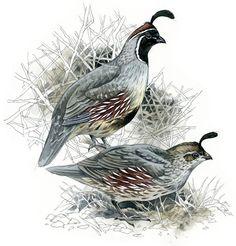 Quails Gambel's watercolour bird wildlife by RobManciniImages, $25.00