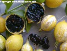 Blackberry jam fruit: Rare Fruit Seeds and Exotic Tropical Fruit Seeds