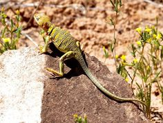 In Photos: Flashy Collared Lizards of the North American Deserts.