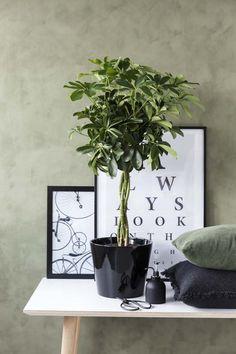 Oppstammet Schefflera er en høyreist og frodig plante.