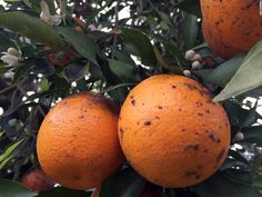 Why farmers and scientists are rushing to save citrus - CNN.com