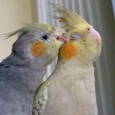 Aww, come on baby. Funny Birds, Cute Birds, Pretty Birds, Cute Little Animals, Little Birds, Cute Funny Animals, Cockatiel Cage, Funny Parrots, Australian Birds
