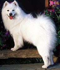 American Eskimo Dog breed information