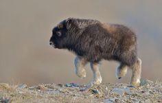 Musk Ox Baby By Randy Kokesch