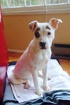 Photo 3 - Pit Bull Terrier Mix Dog for adoption in Redmond, Washington - Queen Amidala