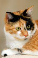 Beautiful Calico Cat stock photo