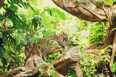 Leopard Dozing in the Jungle - Fototapeter & Tapeter - Photowall