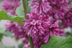SYRINGA prestoniae 'Redwine' Syringa, Plants, Plant, Planting, Planets