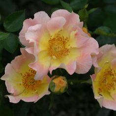 Peachy Creeper - Shrub Roses - Roses - Heirloom Roses