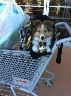 Sheltie Puppies- Going Shopping! BellaRose Shelties